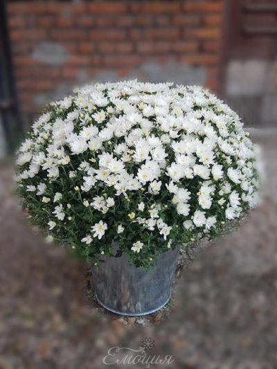 Бяла хризантема в метална кашпа