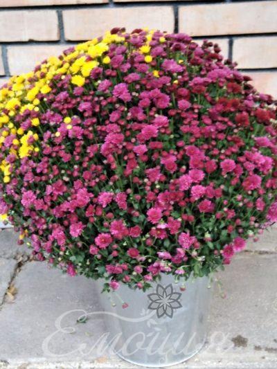 Трицветна хризантема в метална кашпа