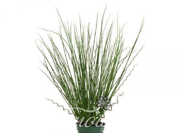 Джункус - любовна трева
