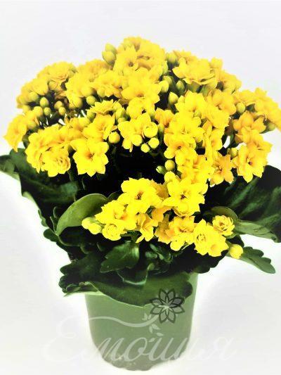 Каланхое Жълто
