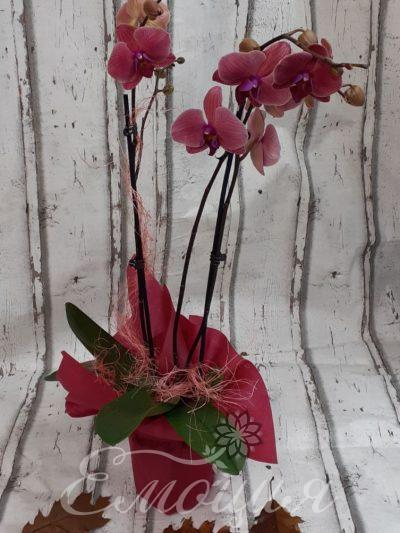 Орхидея Есен
